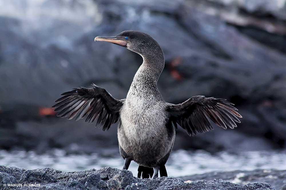 L'oiseau aquatique déploie ses ailes atrophiées. Le cormoran des Galapagos a perdu sa capacité à voler, mais est il est devenu plongeur.
