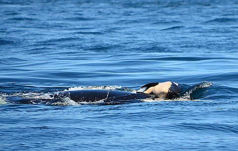 Dix-sept jours durant, l'orque «J35» a maintenu son bébé mort à la surface.