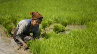 Le gouvernement birman souhaite multiplier par cinq les exportations de riz d'ici 2018.