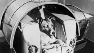 La chienne Laïka, avant de partir pour l'espace, le 13 novembre 1957.