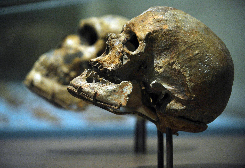 Des crânes d'Homo sapiens (image d'illustration).