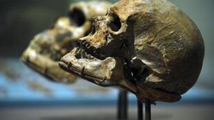 Crânios de homo sapiens