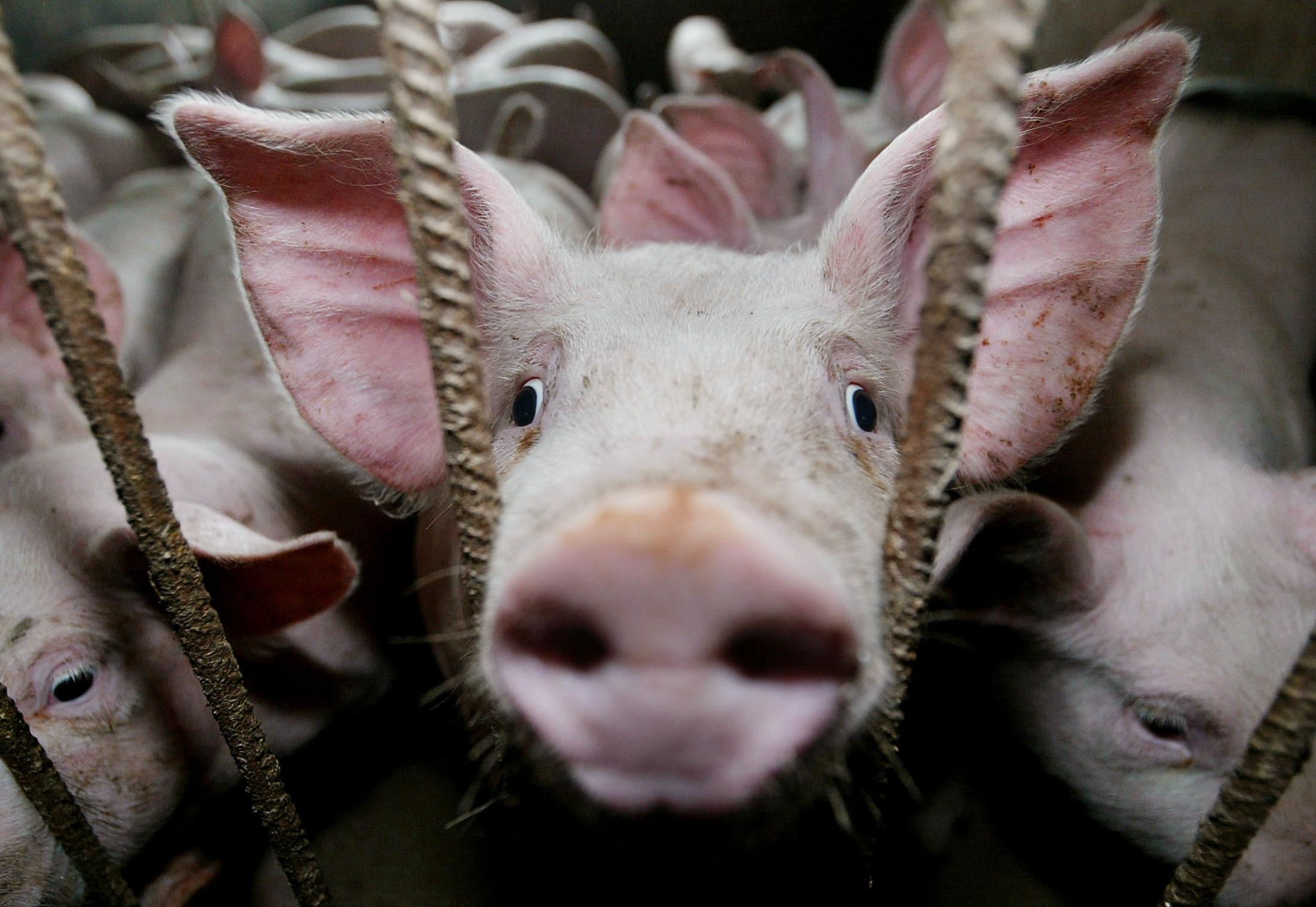 Élevage de porcs.