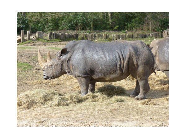 Rhinocéros, parc zoologique de Thoiry.