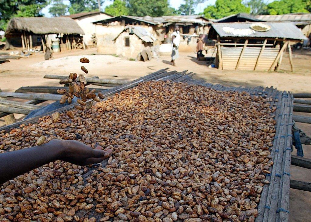 Séchage des féves de cacao.