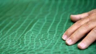 Une peau de crocodile qui servira à fabriquer des chaussures en Italie.