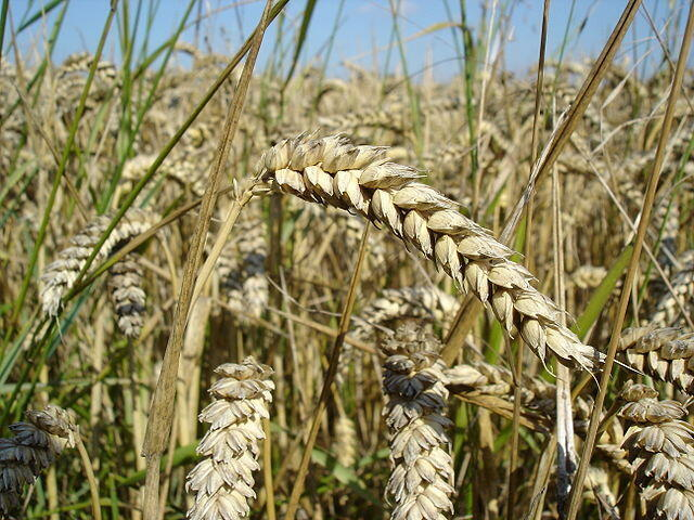 Au Maroc, grâce à l'irrigation d'appoint avant les pluies et la retenue des eaux, la production de blé supplémentaire s'est élevée à 25%.
