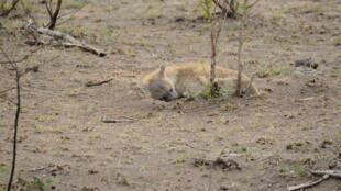En Afrique du Sud, malgré la terre sèche du parc Kruger et le manque d'ombre, cette hyène se repose quelques instants. Elle a mis bas depuis peu et surveille de près sa progéniture.