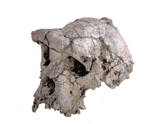 Une copie du crâne de Toumaï, trouvé en 2001 au Tchad, a été envoyée à Dakar pour le Festival mondial des arts nègres.