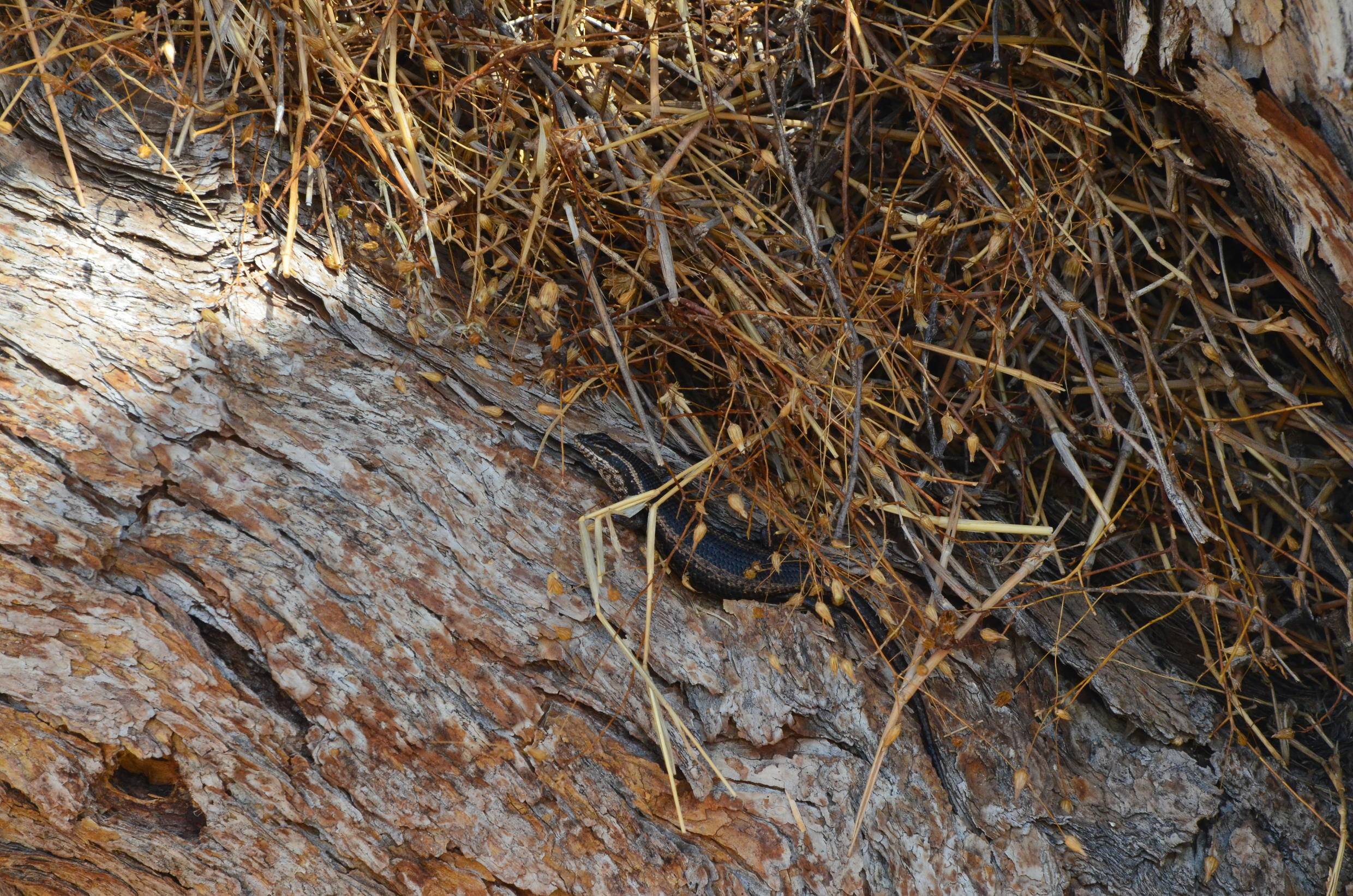 Kalahari tree skinks are found in greater numbers around trees with sociable weaver nests in them.