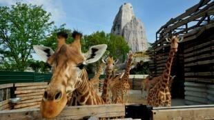Uma das girafas do Zoológico de Vincennes, que reabre as portas em abril de 2014