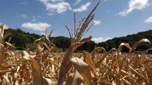 Imagem do dia 13 de agosto deste ano mostra plantação de milho devastada pela seca em Iowa, nos Estados Unidos.