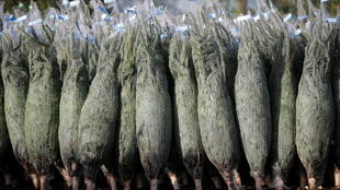 A first sign of Christmas cheer: florists in France will begin selling Christmas trees on Friday 19 November 2020.
