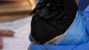 Na Nova Zelândia, uma espécie rara de pinguins azuis sofre com o vazamento de óleo.