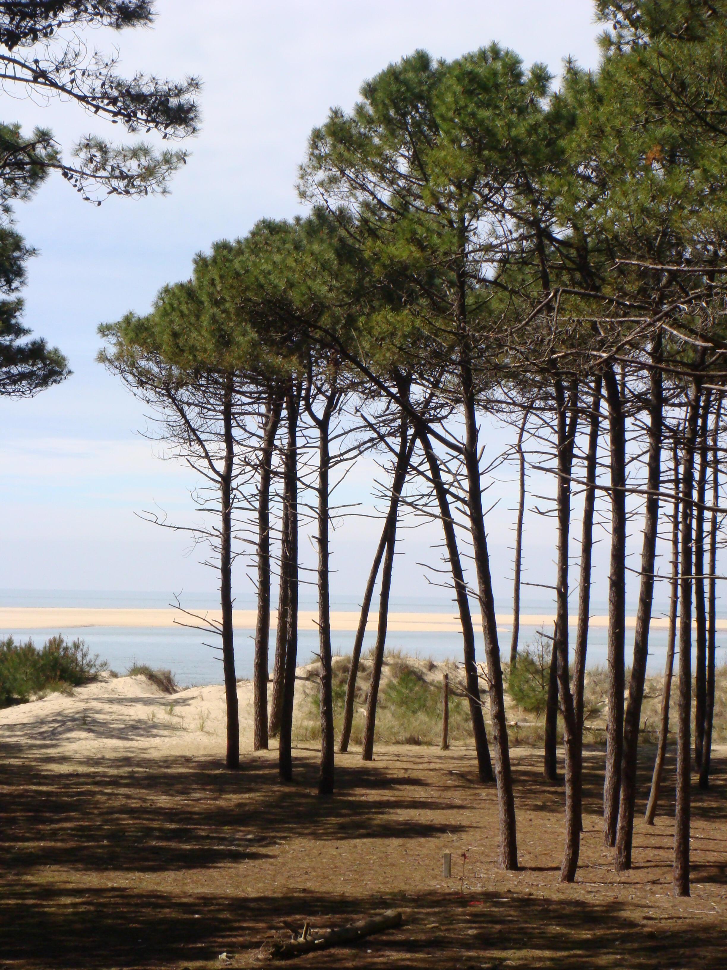 Estos pinos crecen en el bosque de las Landas, en la costa atlántica, junto a las dunas, al sudoeste de Francia.