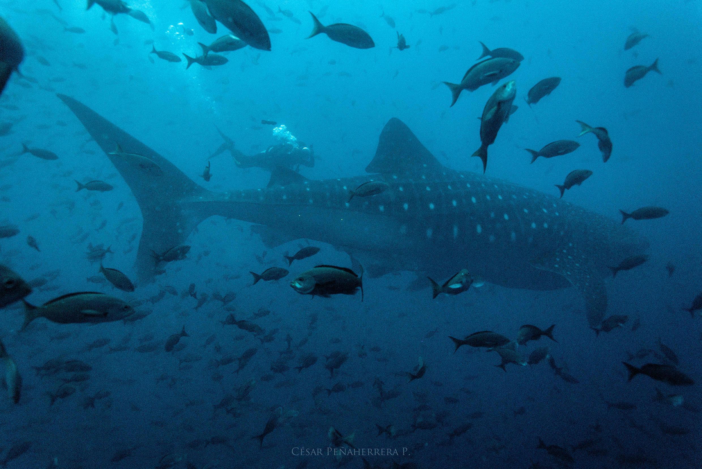 Coco, la tiburon ballena, nadando al lado de los hombres rana de MigraMar