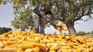 Récolte du maïs, dans le village de Kodjan, à 60 km de Bamako, le 6 novembre 2015. Le secteur agricole est un moteur de l'économie malienne.