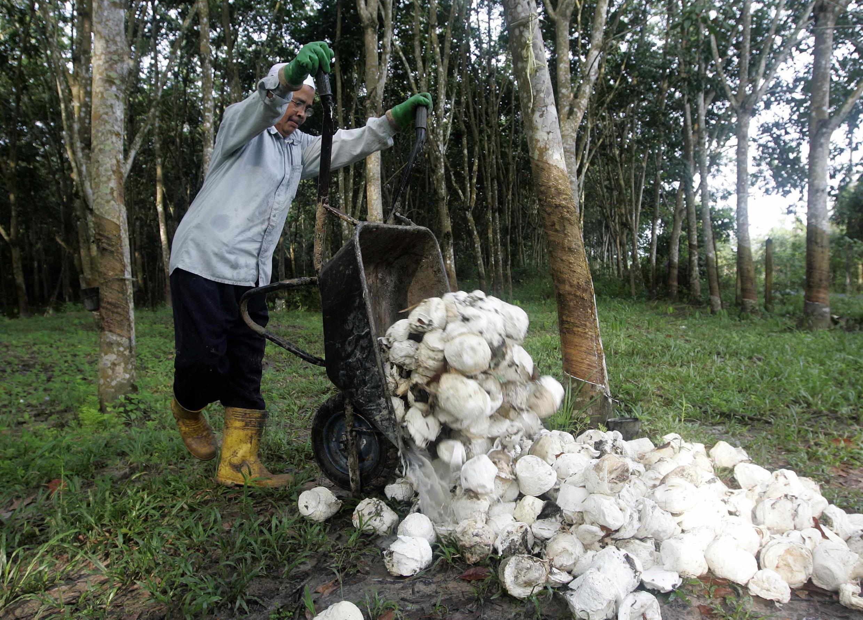 Les cultivateurs thaïlandais de caoutchouc sont très en colère, car ils craignent une chute plus grave encore des prix du nouveau caoutchouc qu'ils s'apprêtent à produire.