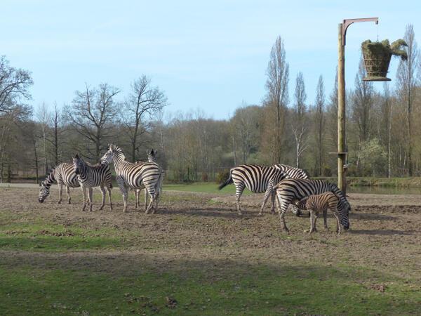 Une savane un peu différente pour ce troupeau de zèbres.