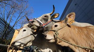 圖為法國參展名牛