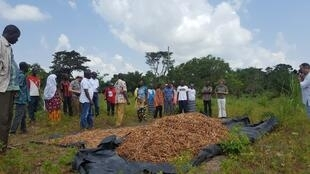 Récolte de haricot niébé de l'association des femmes de Zongodougou.