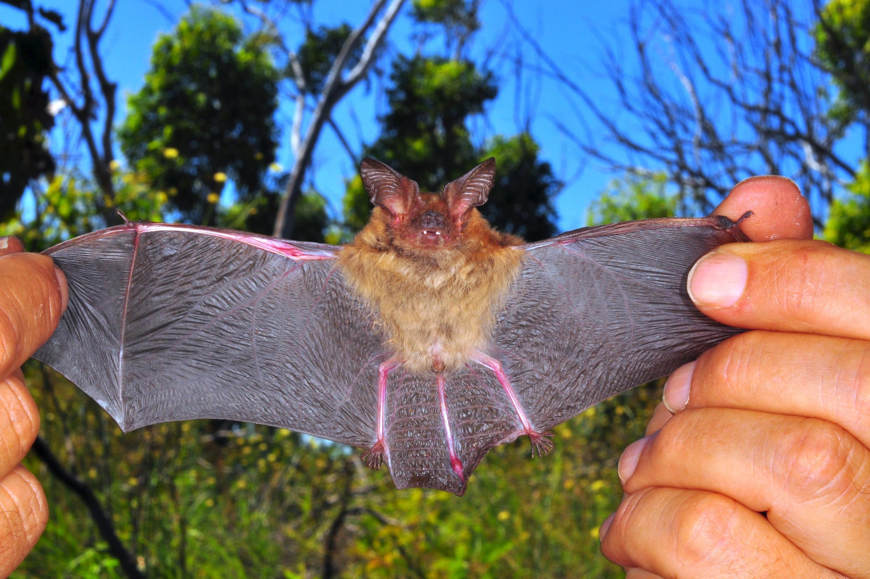 Cette chauve-souris fantôme d'Australie fait partie des espèces délaissées par les scientifiques.