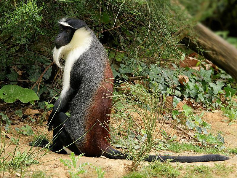 A Roloway monkey
