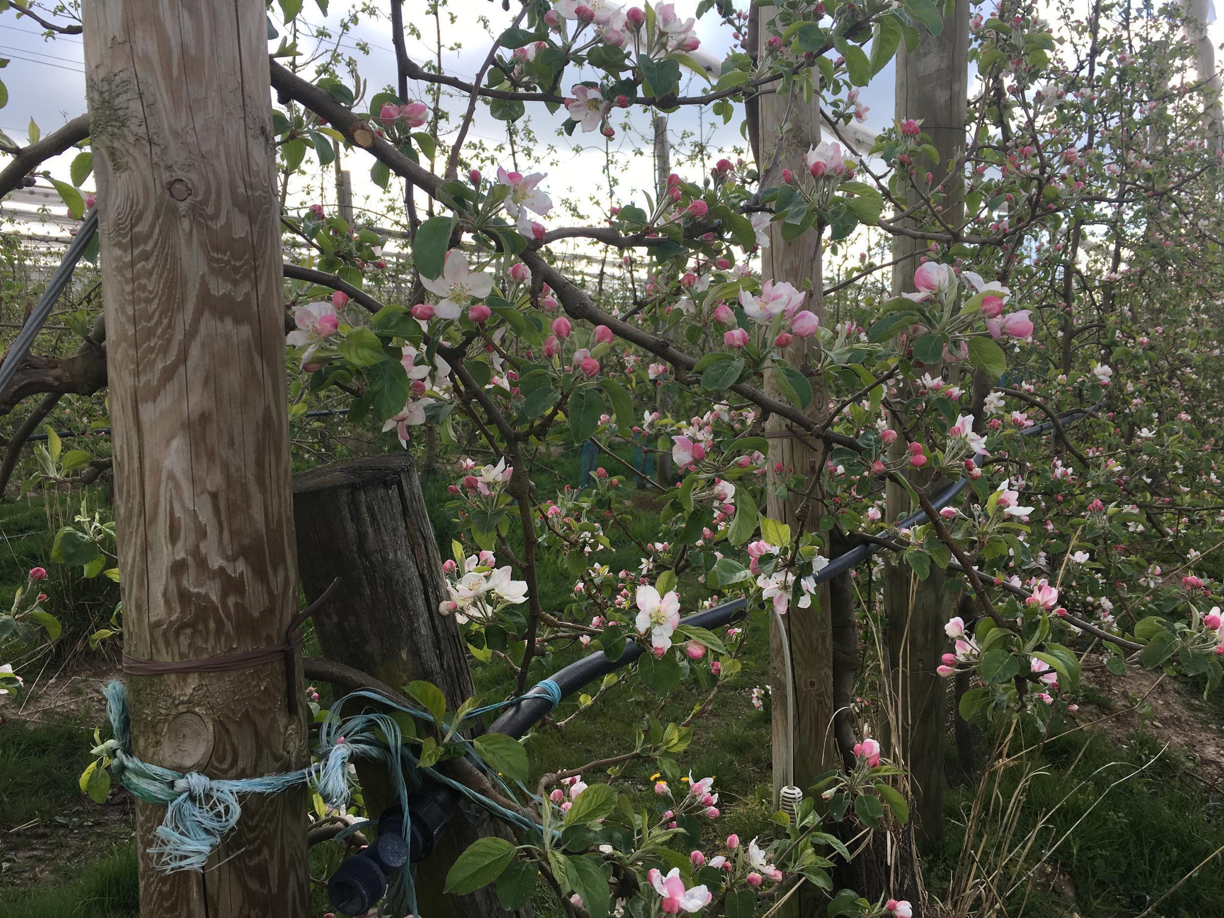 La Morinière has been successful in protecting apple blossom from late frosts