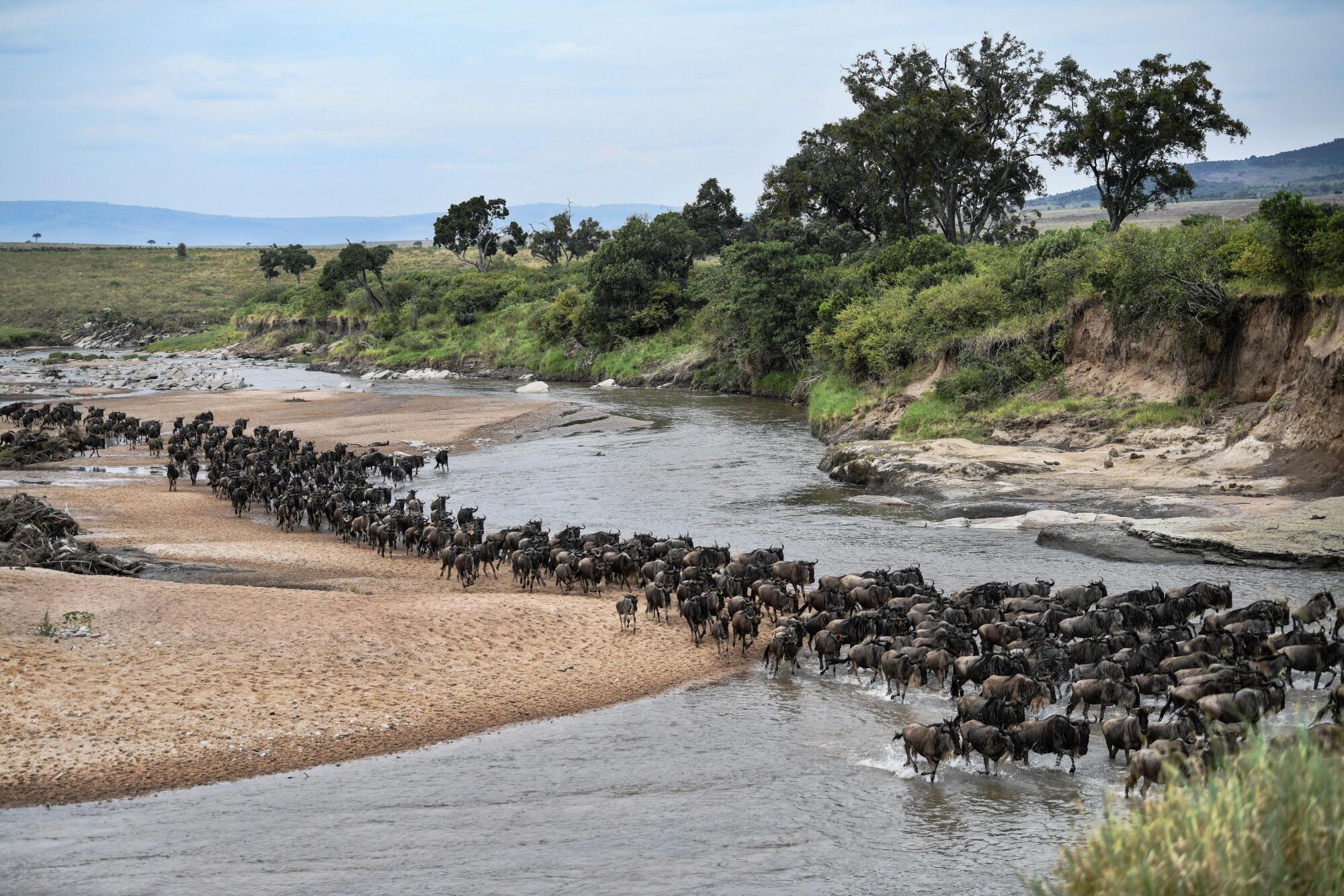 Un troupeau de gnous à leur arrivée dans la réserve nationale Maasai Mara du Kenya depuis le parc national du Serengeti en Tanzanie pendant le début de la migration annuelle le 18 juillet 2020.