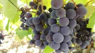Le vin est fabriqué à partir de jus de raisin pressé.