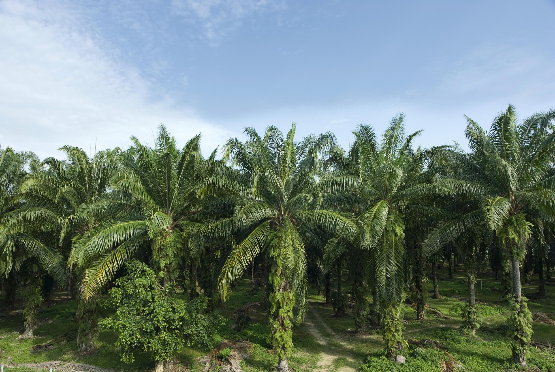 Plantation de palmiers pour la culture d'huile de palme.