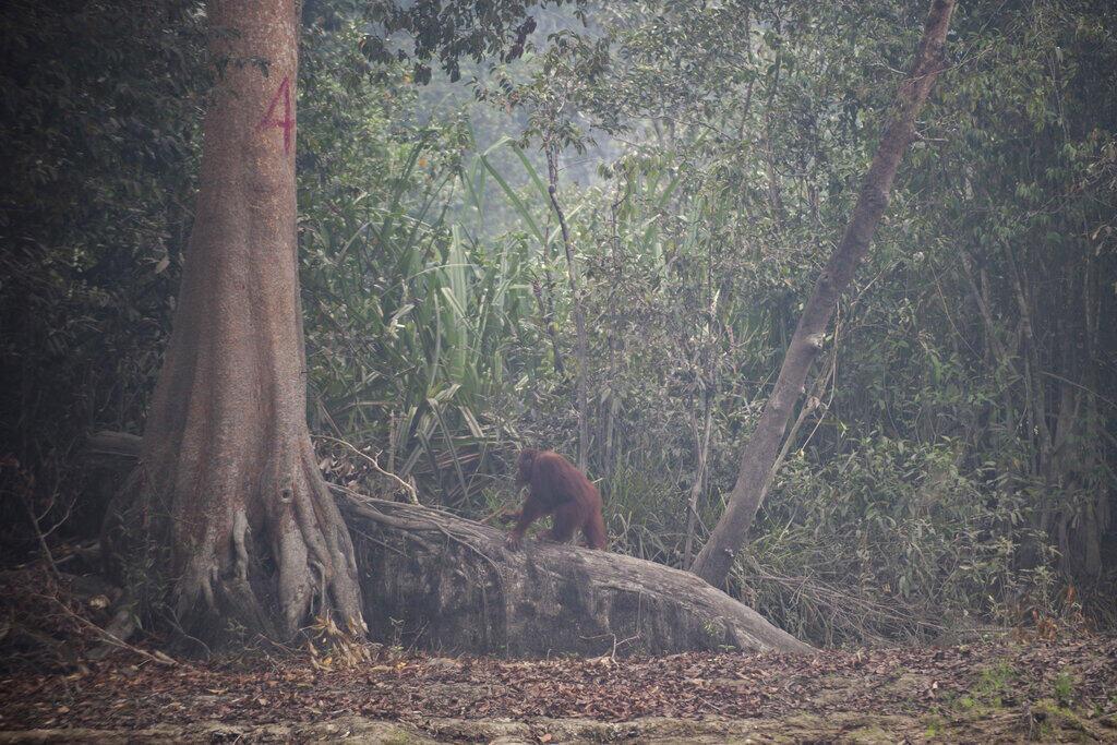 Orang-outan dans la forêt de Borneo en Indonésie (image d'illustration).