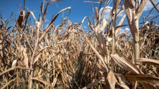 Un champ de maïs ravagé par la sécheresse, dans l'Est de la France, le 6 août 2018.