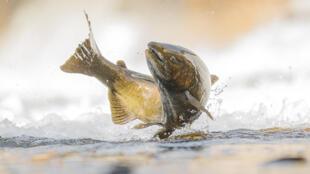 19% des espèces de poissons sont particulièrement menacées, à l'image du saumon de l'Atlantique, le saumon sauvage qui vient se reproduire en rivière (photo d'illustration).