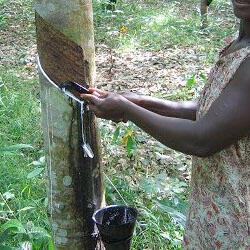Récolte d'hévéa au nord du Gabon.