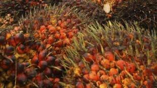 Récolte des fruits du palmier à huile, à Langkat, en Indonésie, le 31 octobre 2012.