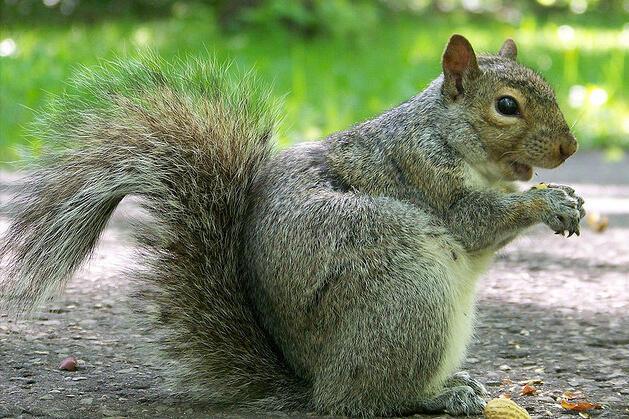 3,5 millions d'écureuils gris voraces envahissent les parcs du Royaume-Uni.