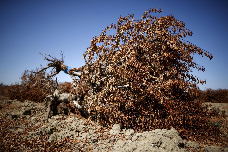 Un amandier mort à Bakersfield, le 23 juillet 2015, à cause d'une sécheresse historique en Californie.