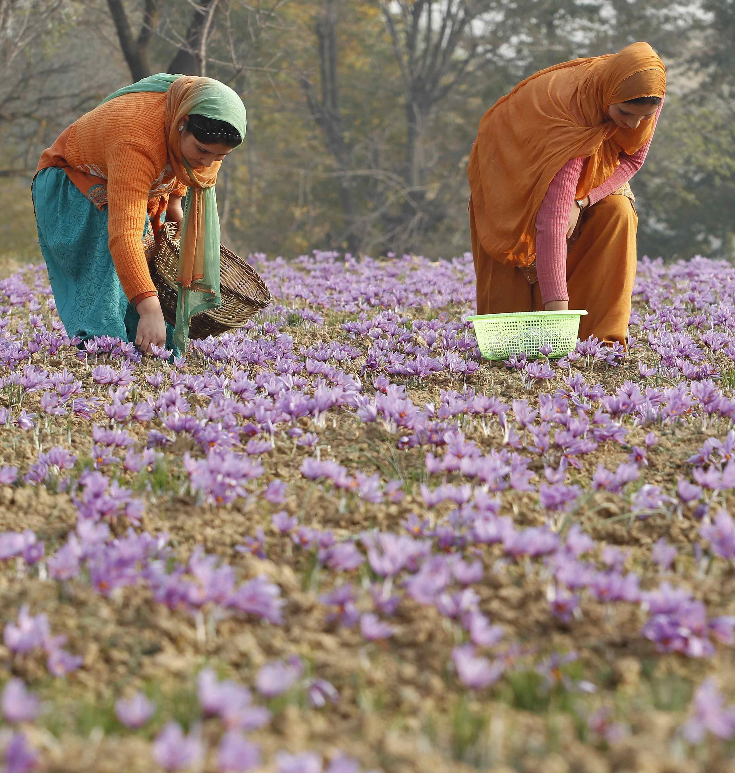 Kashmiri villagers collect saffron flowers at a field in Pampore