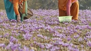 Kashmiri villagers collect saffron flowers at a field in Pampore in Kashmir