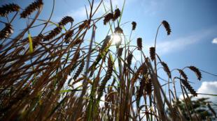 Le blé est au coeur de l'alimentation humaine et son génome est cinq fois plus gros que celui de l'homme (photo d'illustration)
