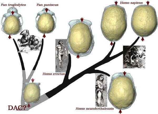 Arbre évolutif simplifié des hominidés et asymétries neuroanatomiques partagées