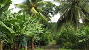 Une plantation de bananiers, juste à côté de l'usine de traitement des eaux.