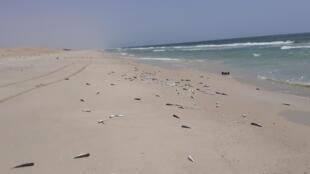 Des millions de poissons échoués sur les plages de Nouakchott, Mauritanie, septembre 2020.