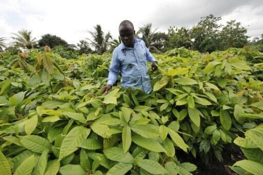 Une plantation de cacao en Côte d'Ivoire.