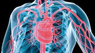 Sistema cardio-vascular (imagem de ilustração)