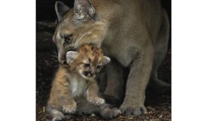 Première naissance pour la femelle puma Maeli.