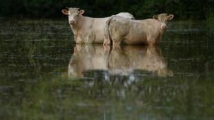Nem os animais escaparam das fortes chuvas e tempestades desta segunda-feira, 11 de junho de 2018, em Tennie, noroeste da França.