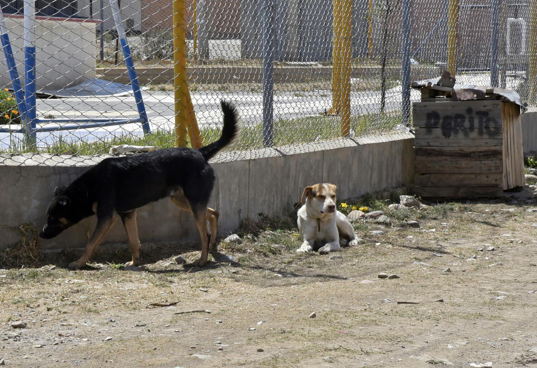 Cachorros vadios nas ruas de La Paz.