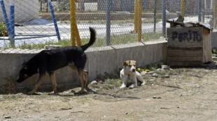 Des chiens errants dans la ville de La Paz le 5 octobre 2018.